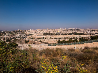 blooming yellow mustard biblical bush on the Mount of Olives ove