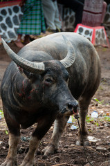Scarred buffalo carabao tied by The Nose in village of Tana Toraja