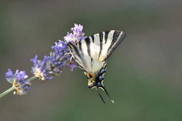 Macaone (Papilio machaon) su lavanda