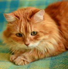 Fluffy red cat