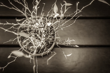 Black and white photography of dried plant with new leaves and copy space