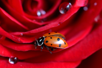 A ladybug on a petal of a rose