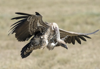 Africa, Tanzania Serengeti National Park, vultures landing.