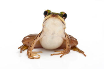 green frog (green paddy frog) on white background
