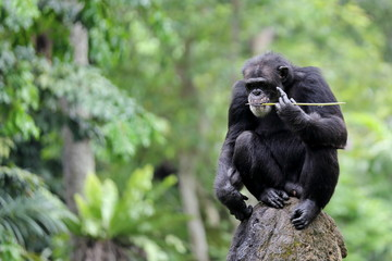 An Adult Chimpanzee with Blurry Background and Empty Space for Text