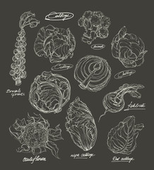 vector hand drawing set of cabbage