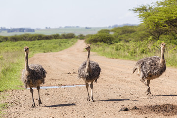 Ostrich birds flock wildlife wilderness summer.