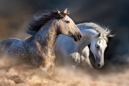 Couple of horse run in dust at sunset light
