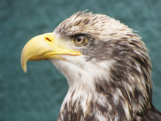 A close-up head shot of a young Bald Eagle