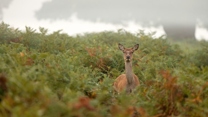 Wall Mural - Red Deer hind standing in the bracken looking at the camera