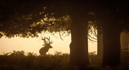 Wall Mural - Red Deer Stag silhouette in the trees