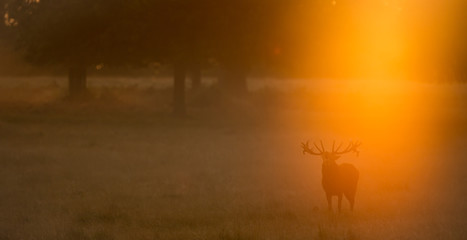 Wall Mural - Red Deer Stag calling