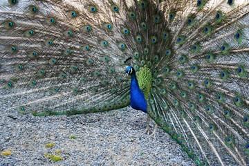 Peacock standing on slag
