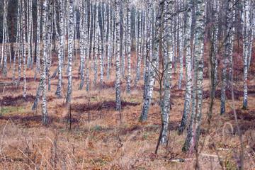 Birch Trees, Autumnal Forest
