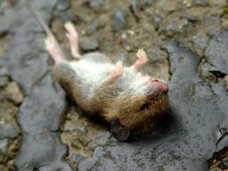 野ネズミの死骸