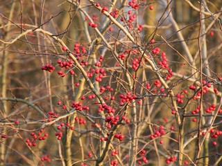 Wall Mural - plenty of red berries on the twigs of tree