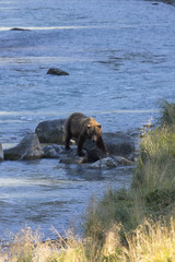 Alaska grizzly bear strides in sunshine along river