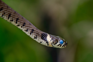 Grass snake (Natrix natrix) ready to shed skin with blue eye. A young grass snake ready to moult, with blue scales over eyes and clear yellow collar