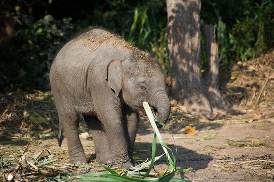 Baby elephant eating sugar cane