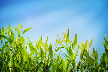 Wall Mural - Natural summer background with green lush grass and blue sky