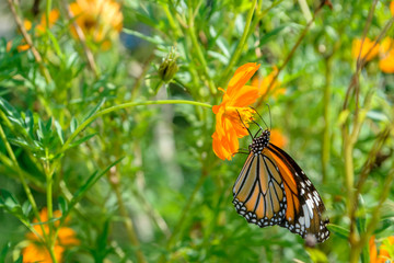Monarch butterfly feeding on cosmos flower