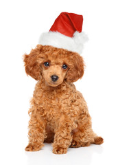 Wall Mural - Poodle puppy in Santa hat