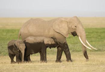 Kenya Africa Amboseli reserve, elephant with young calf