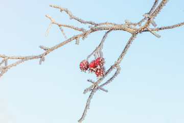 Frosted branch with red berries