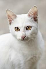 Portrait of a white wildcat