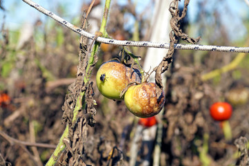 agricultural cultivation abandoned and rotting from the sun