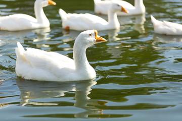 Гуси плавают в воде