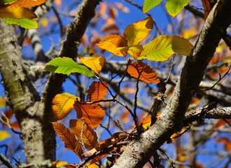 Colorful leaves of chestnut tree in autumn