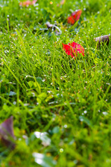 Lawn grass with dew drops and leaves in the morning