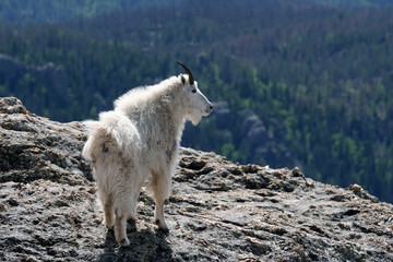 Mountain Goat looking over the Black Hills from the top of Harney Peak in Custer State Park in South Dakota USA