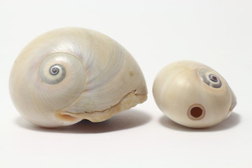 Atlantic moon snails with one shell showing hole caused by being preyed on by another moon snail