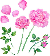 Watercolor roses, leaves. Set of vector floral elements to create compositions.