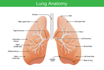 Components description of human lung in illustration for work with medical content.