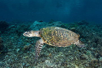 Hawksbill Turtle in Tropical Pacific
