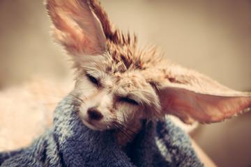 Funny disheveled puppy fennec fox shaking head