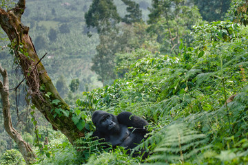 Dominant male mountain gorilla in the grass. Uganda. Bwindi Impenetrable Forest National Park. An excellent illustration. Wall mural