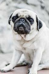 sad white pug