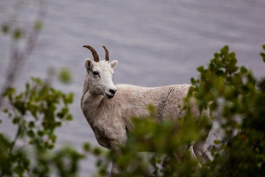 Mountain goat on the hill (Oreamnos americanus) along Seward highway,  Alaska