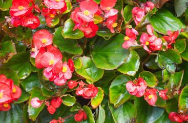 beautiful red Begonia Plant closeup