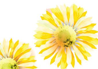 Sunflower or zinnia  yellow flower on white background