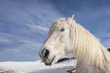 Primo piano di un cavallo bianco. Sfondo con montagne bianche innevate