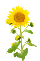 flower sunflower isolated on white background