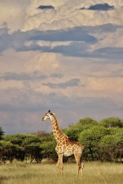 Giraffe and Storm Clouds