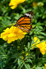 Closeup butterfly on Yellow flower (Common tiger butterfly)