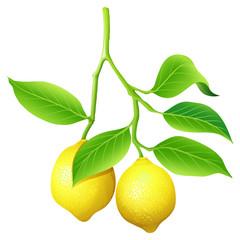 Fresh lemon on branch