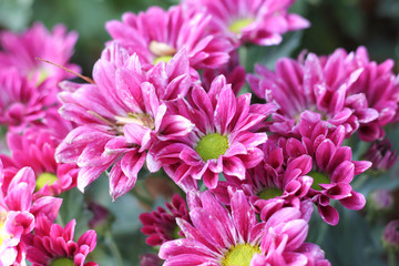 Gerbera pink flower